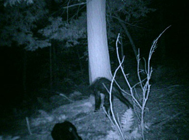 Bigfoot in Michigan
